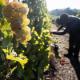 Günstiges Wetter beschert Winzern gute Weinernte