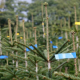 Trotz Trockenheit: Weihnachtsbaum-Preise beiben wohl stabil
