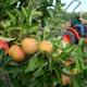 Obstbauern mit Apfelernte zufrieden