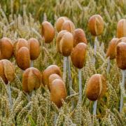 Bauern ernten weniger Getreide