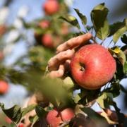 Apfelernte am Bodensee