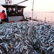 Fischerei mit Stellnetzen