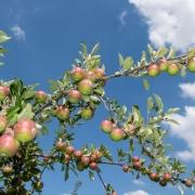 Obst im Alten Land