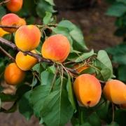 In Niedersachsen wachsen auch Südfrüchte