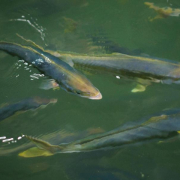 Meeresfischzucht